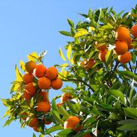 Naranjas alimentación infantil