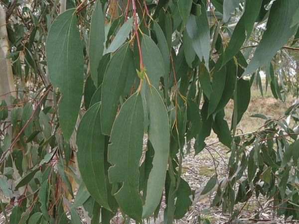 vapor de eucaliptus