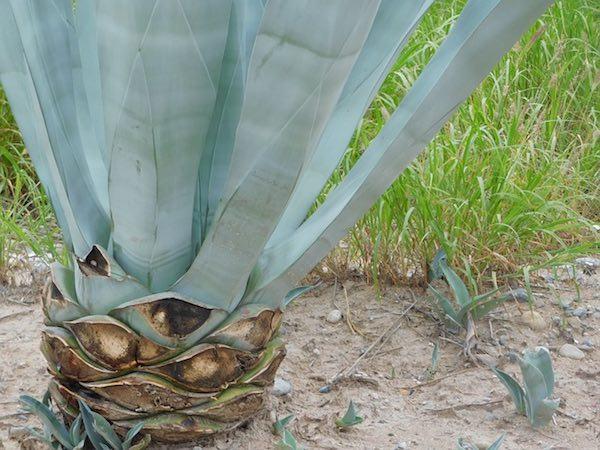 Aloe vera demasiado bueno para ser cierto pequerecetas - Como es la planta de aloe vera ...