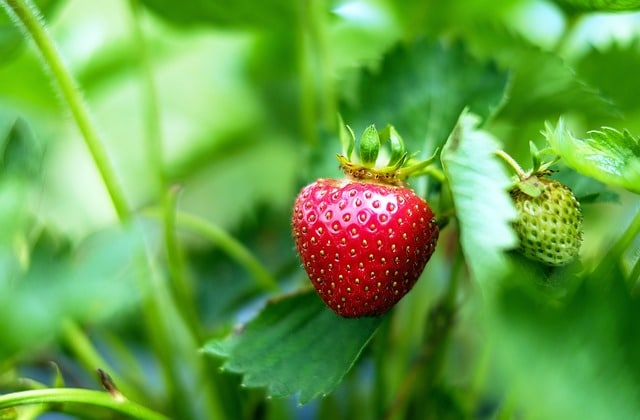 Sembrar fresas